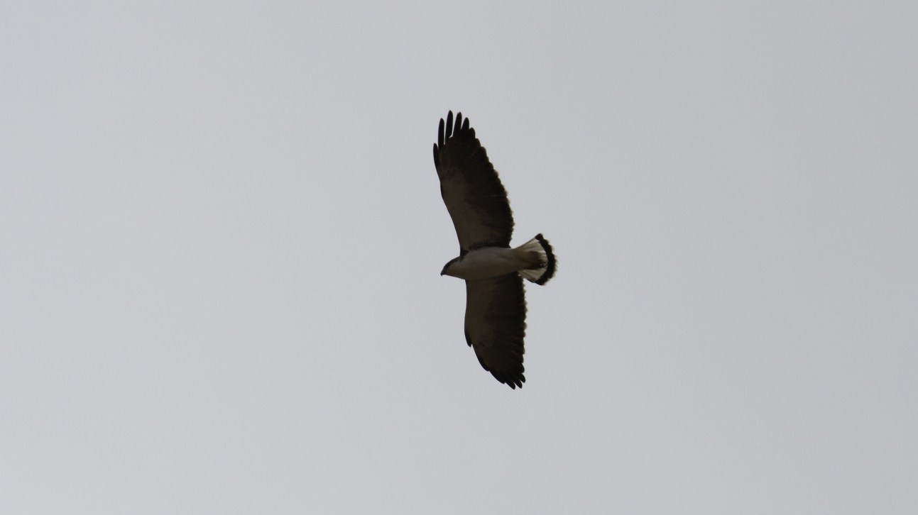 Scientific Name: Red-backed Hawk - Photo: Alfredo La Rosa
