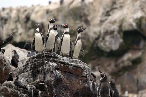 Humboldt Penguin and Inca Tern