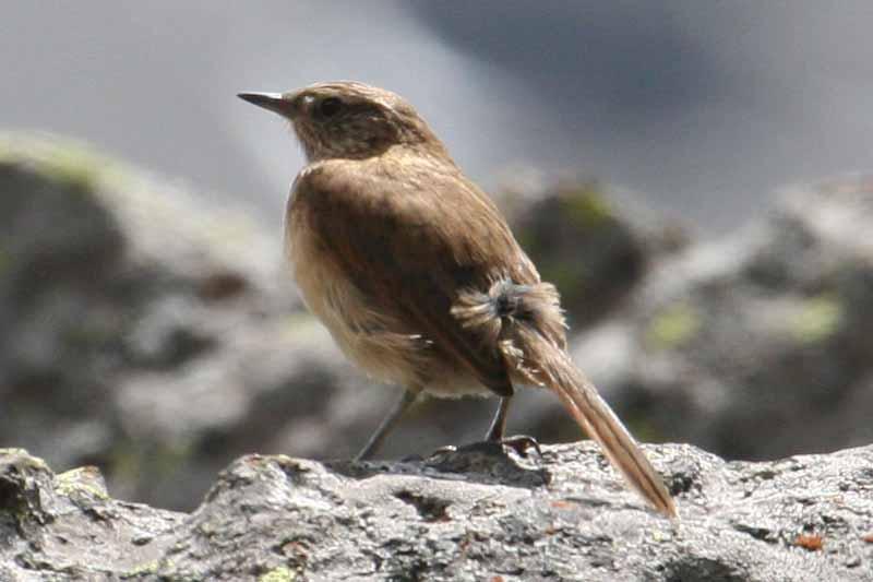 Scientific Name: Cordilleran Canastero - Photo: Alejandro Tabini