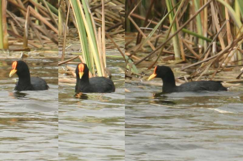 Scientific Name: [Red-gartered Coot] - Photo: Alejandro Tabini