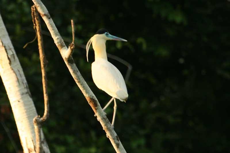 Scientific Name: Capped Heron - Photo: Alejandro Tabini