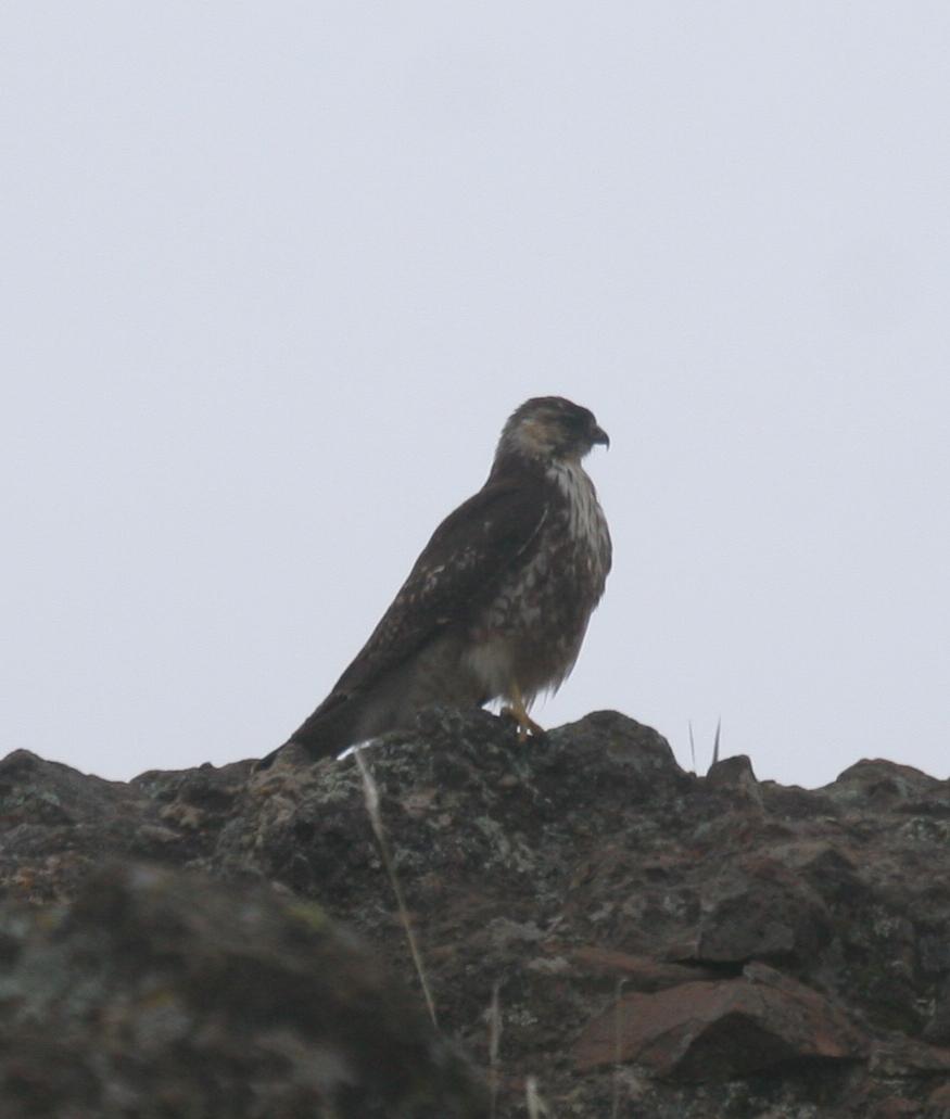 Scientific Name: White-throated Hawk - Photo: Gunnar Engblom