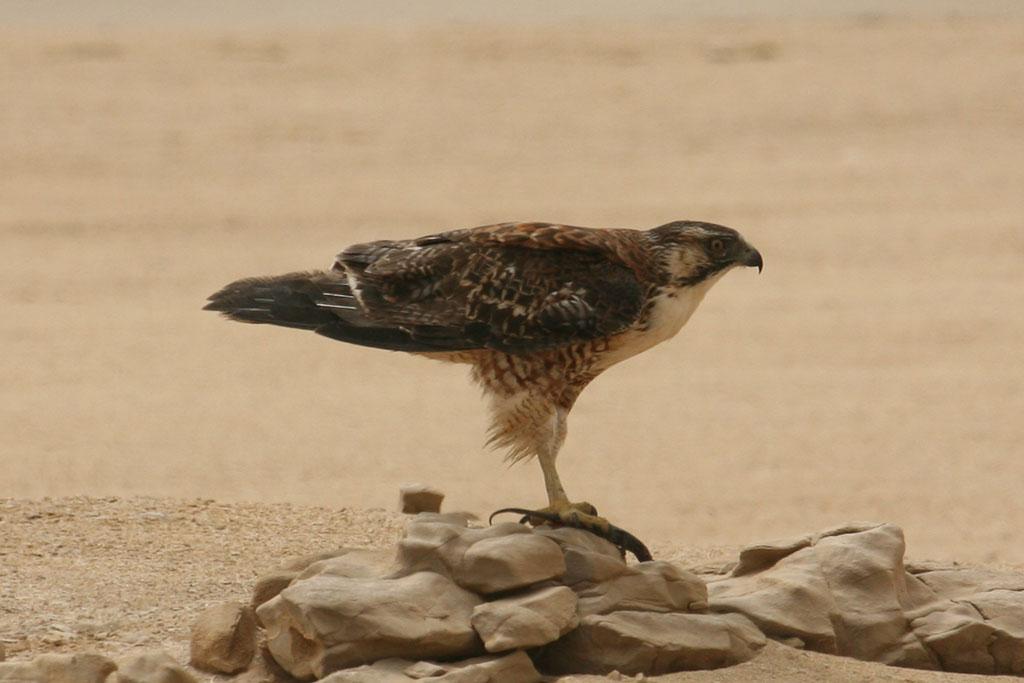 Scientific Name: Red-backed Hawk - Photo: Alejandro Tabini