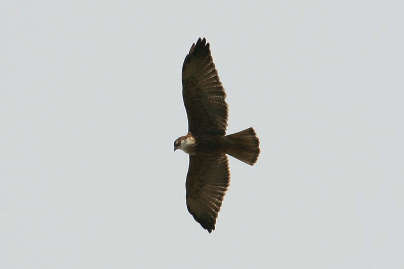 Scientific Name: White-throated Hawk - Photo: Alejandro Tabini