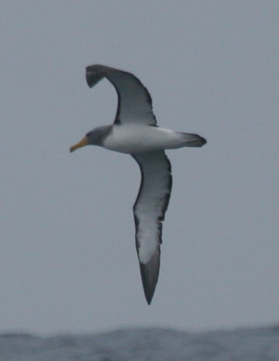 Scientific Name: Chatham Albatross - Photo: Gunnar Engblom