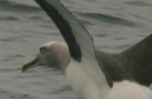 Scientific Name: Buller´s Albatross - Photo: Gunnar Engblom