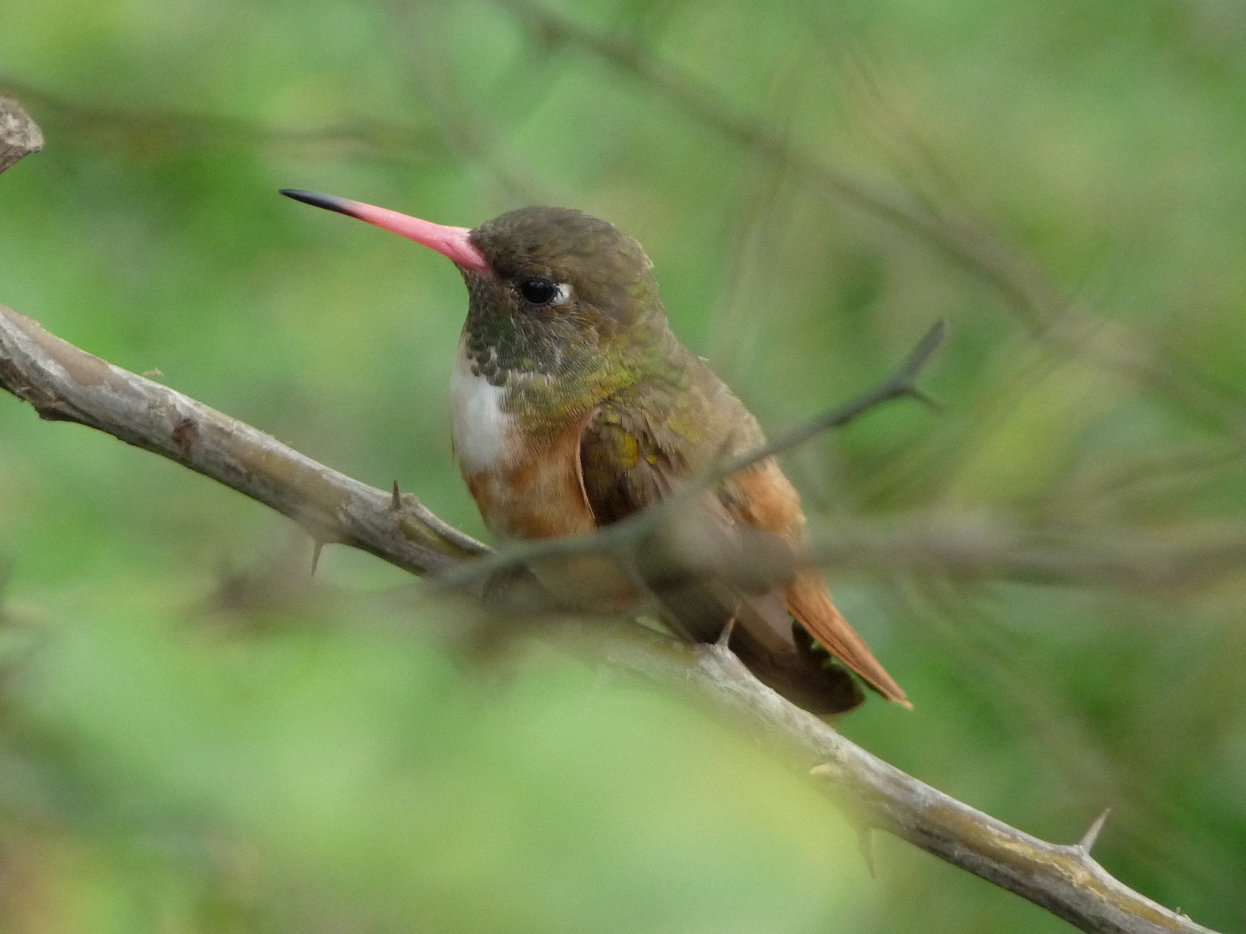 Scientific Name: Amazilia Hummingbird - Photo: Fernando León
