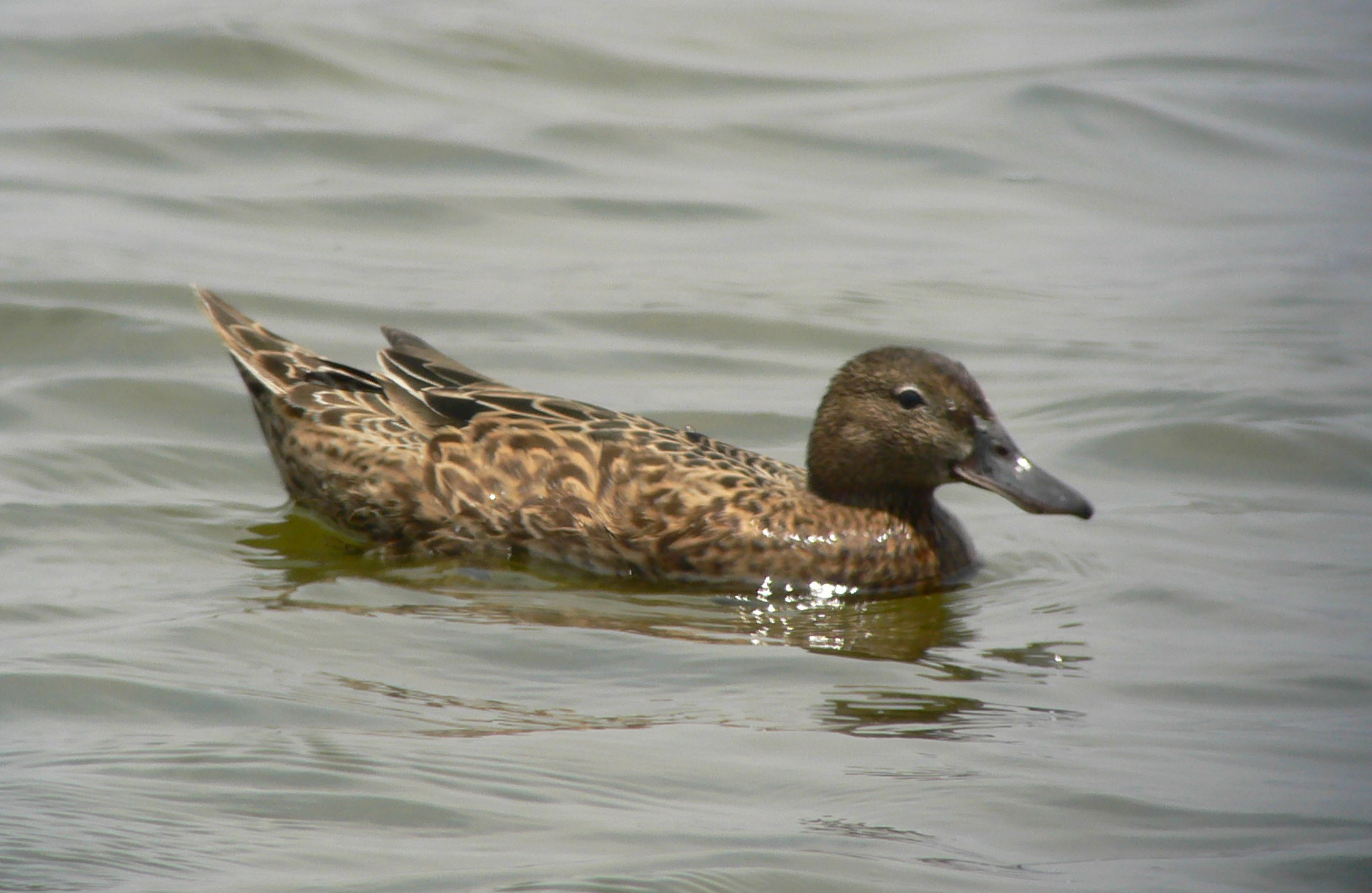 Scientific Name: Cinnamon Teal - Photo: Juan Jose Chalco