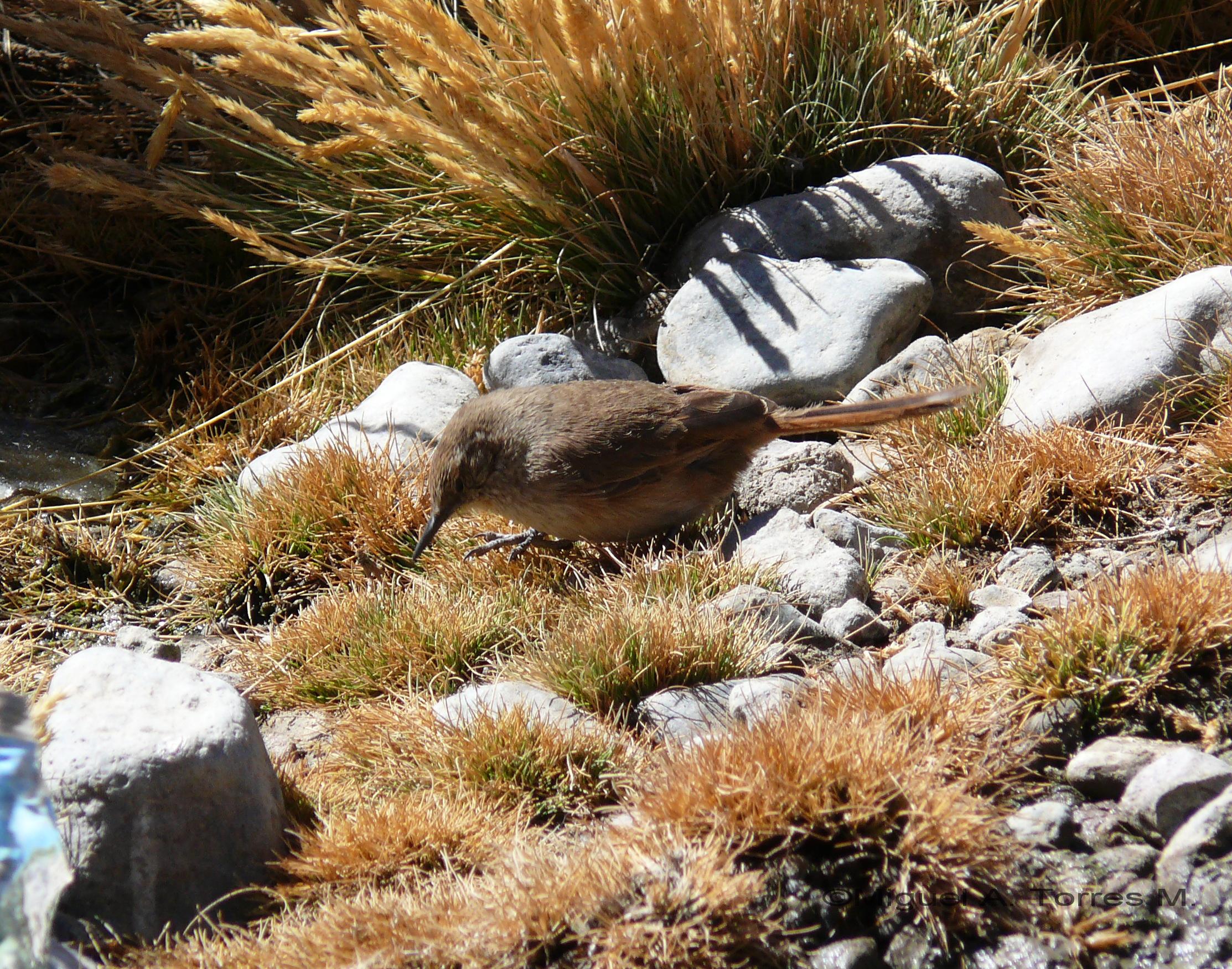 Scientific Name: Cordilleran Canastero - Photo: Miguel A. Torres M.