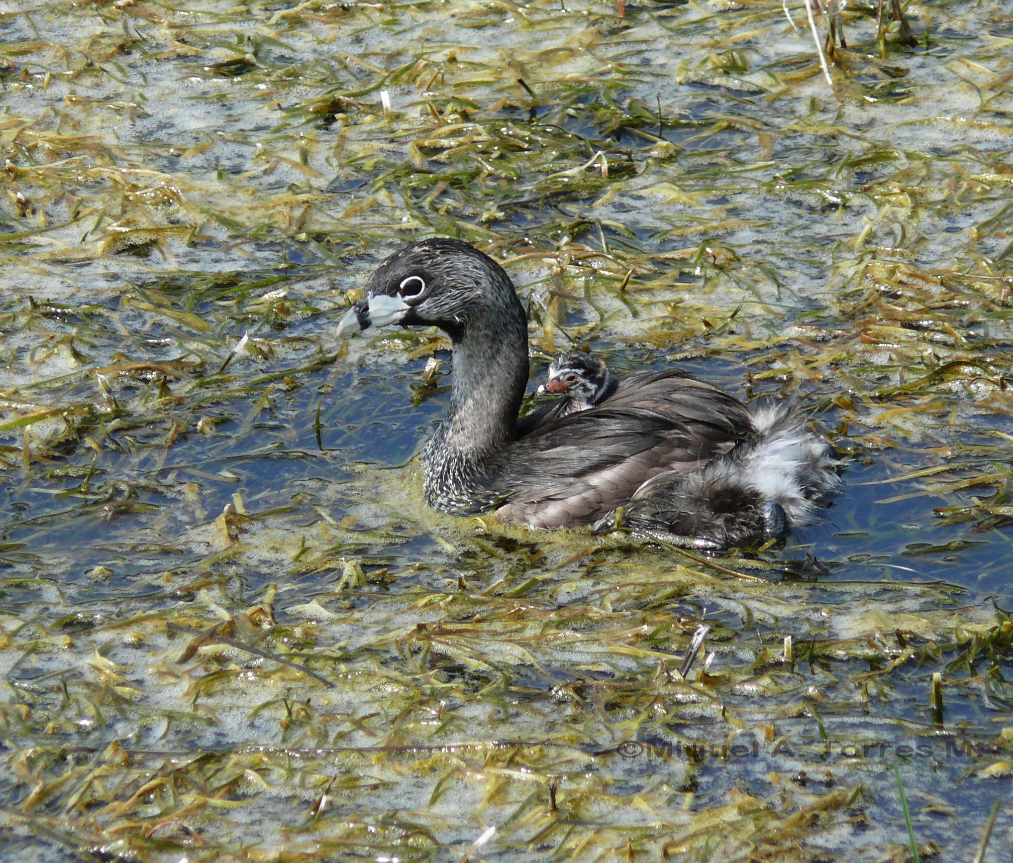 Scientific Name: Pied-billed Grebe - Photo: Miguel A. Torres M.