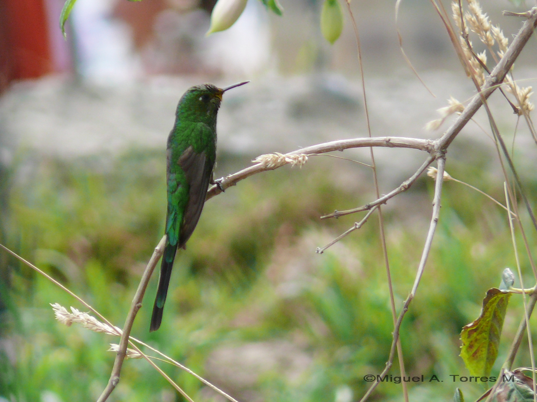 Scientific Name: Green-tailed Trainbearer - Photo: Wilson Díaz