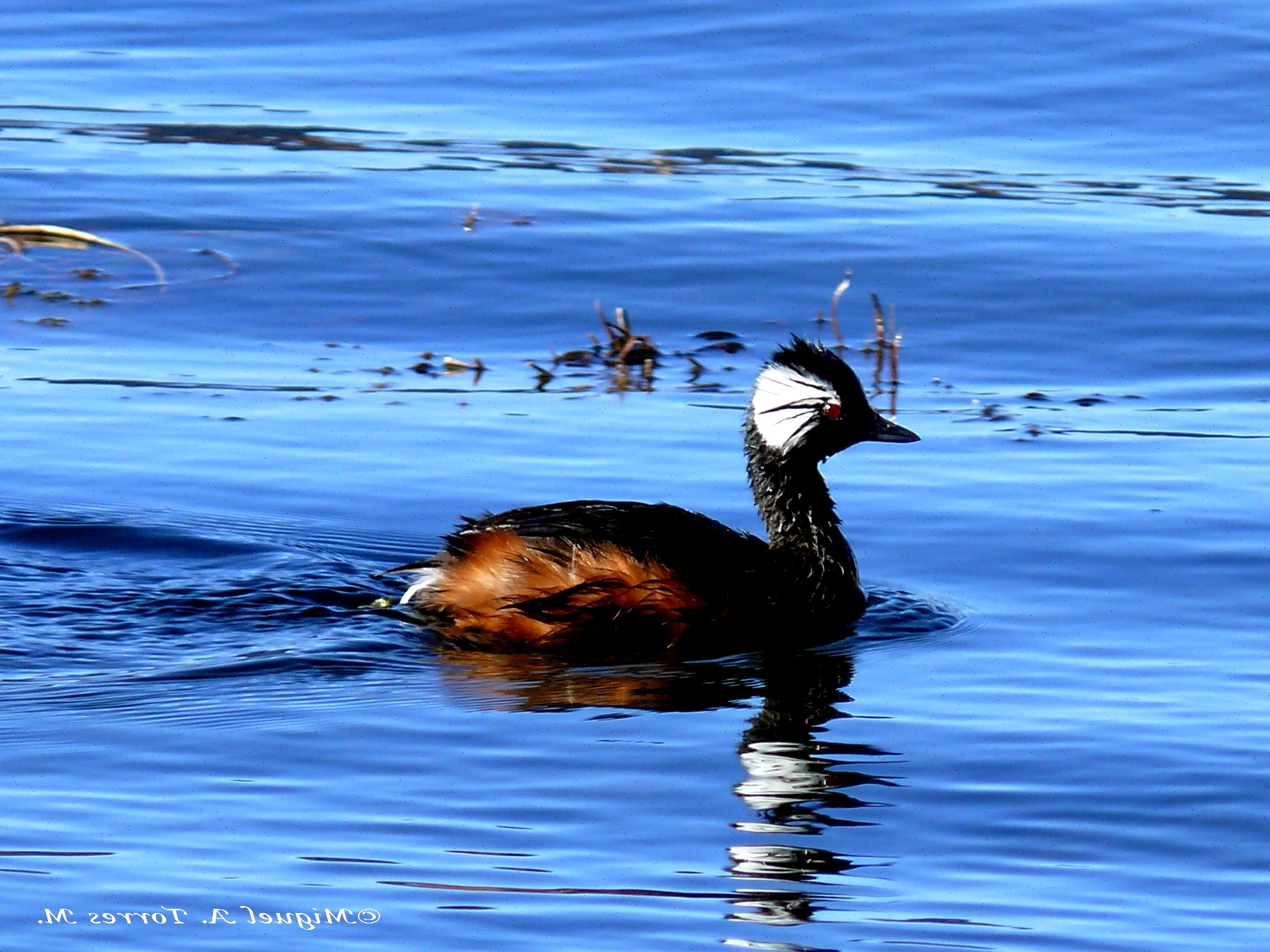Scientific Name: White-tufted Grebe - Photo: Miguel A. Torres M.