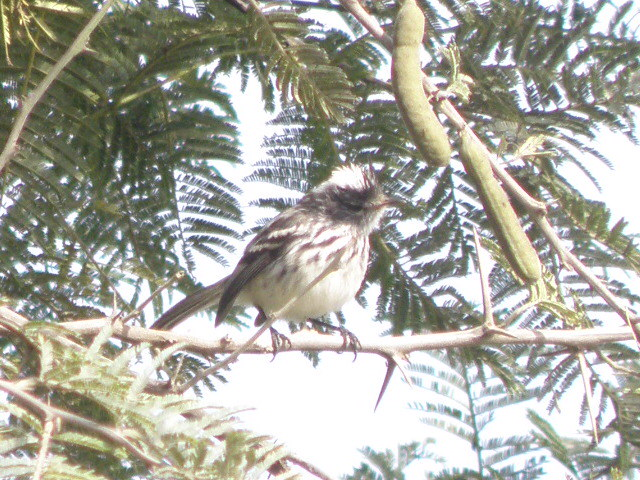 Scientific Name: Pied-crested Tit-Tyrant - Photo: Melissa Paredes Berrocal