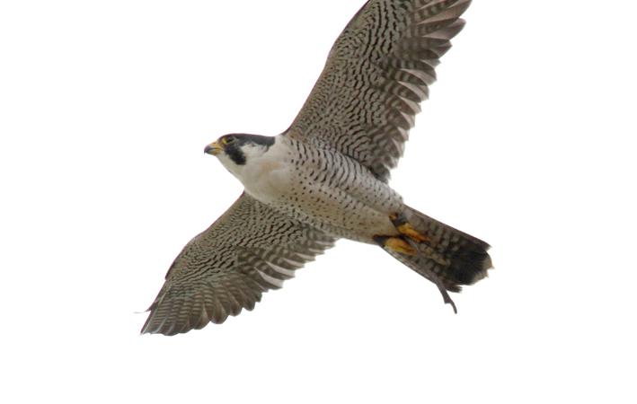 Scientific Name: Peregrine Falcon - Photo: Roger Ahlman