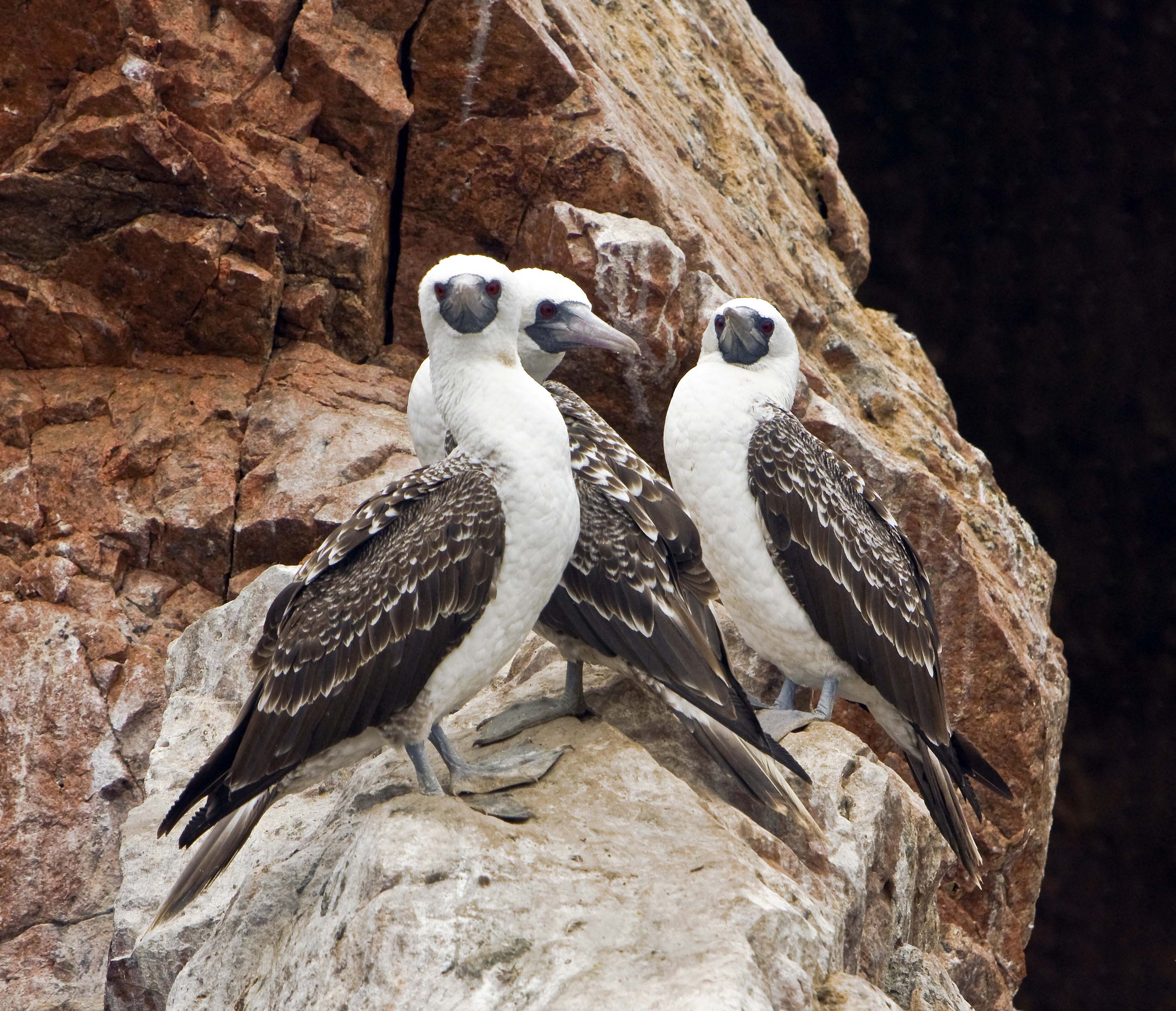 Scientific Name: Peruvian Booby - Photo: Peter de Haas