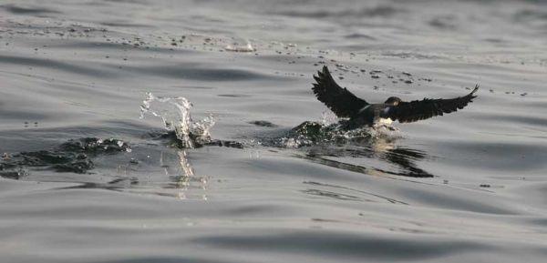 Scientific Name: Peruvian Diving Petrel - Photo: Gunnar Engblom