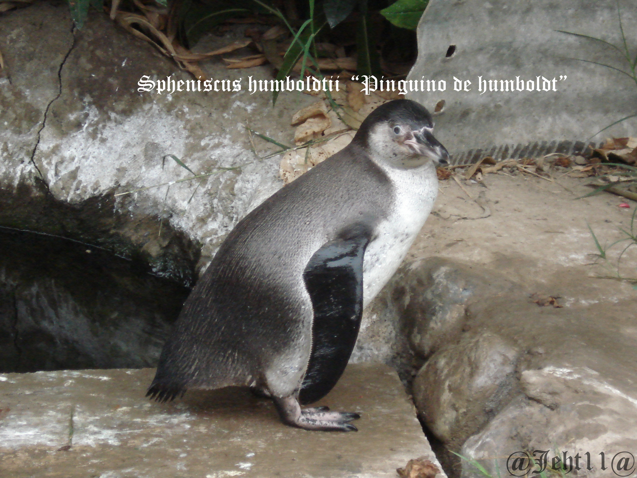 Scientific Name: Humboldt Penguin - Photo: Jose Ernesto Huaroto Tornero