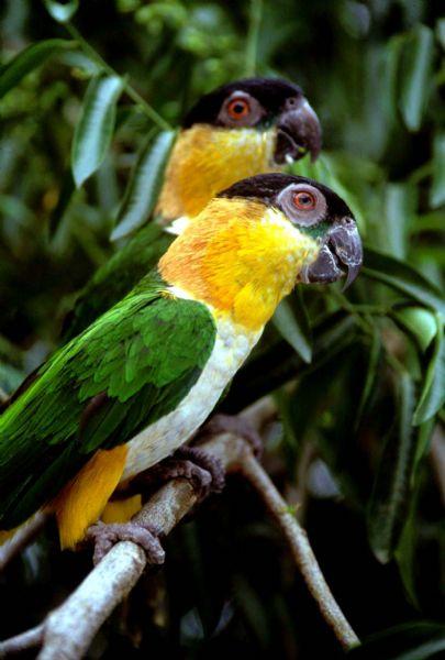 """Medvedići""(Južnoamerički rod papagaja Pionites) Pionites%20melanocephalus"