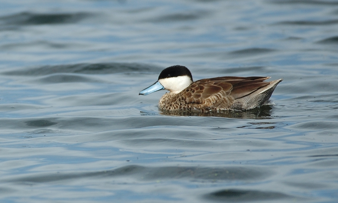 Scientific Name: Puna Teal - Photo: Peter de Haas