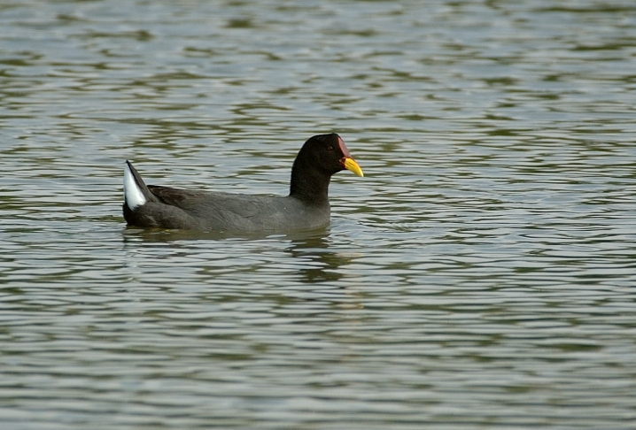 Scientific Name: Red-fronted Coot - Photo: Juan Jose Chalco