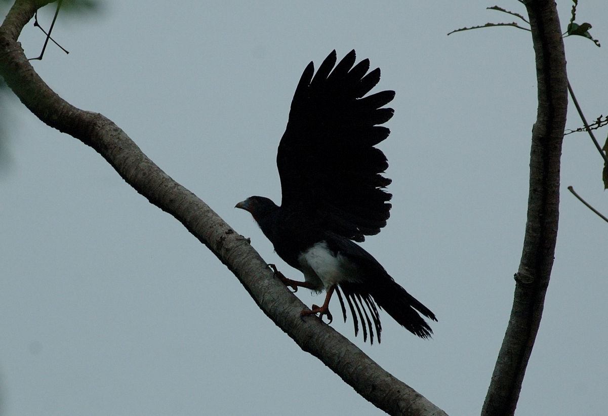 Scientific Name: Red-throated Caracara - Photo: Juan Jose Chalco