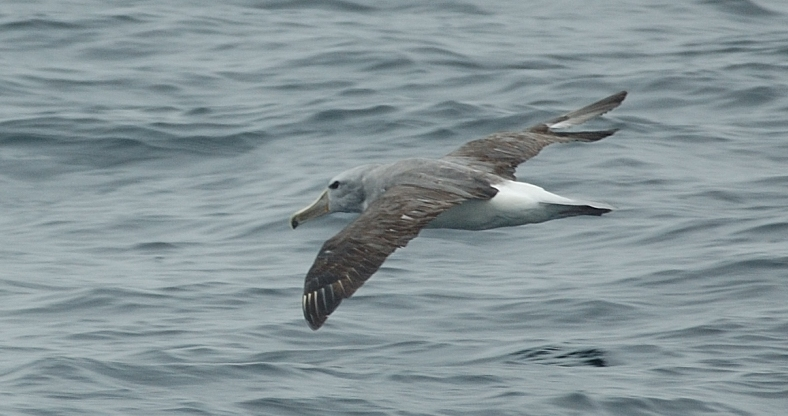 Scientific Name: Salvins Albatross - Photo: Gunnar Engblom
