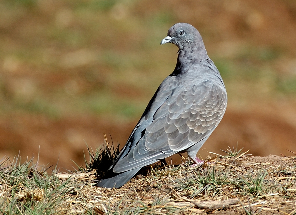 Scientific Name: Spot-winged Pigeon - Photo: Tor Egil Høgsås