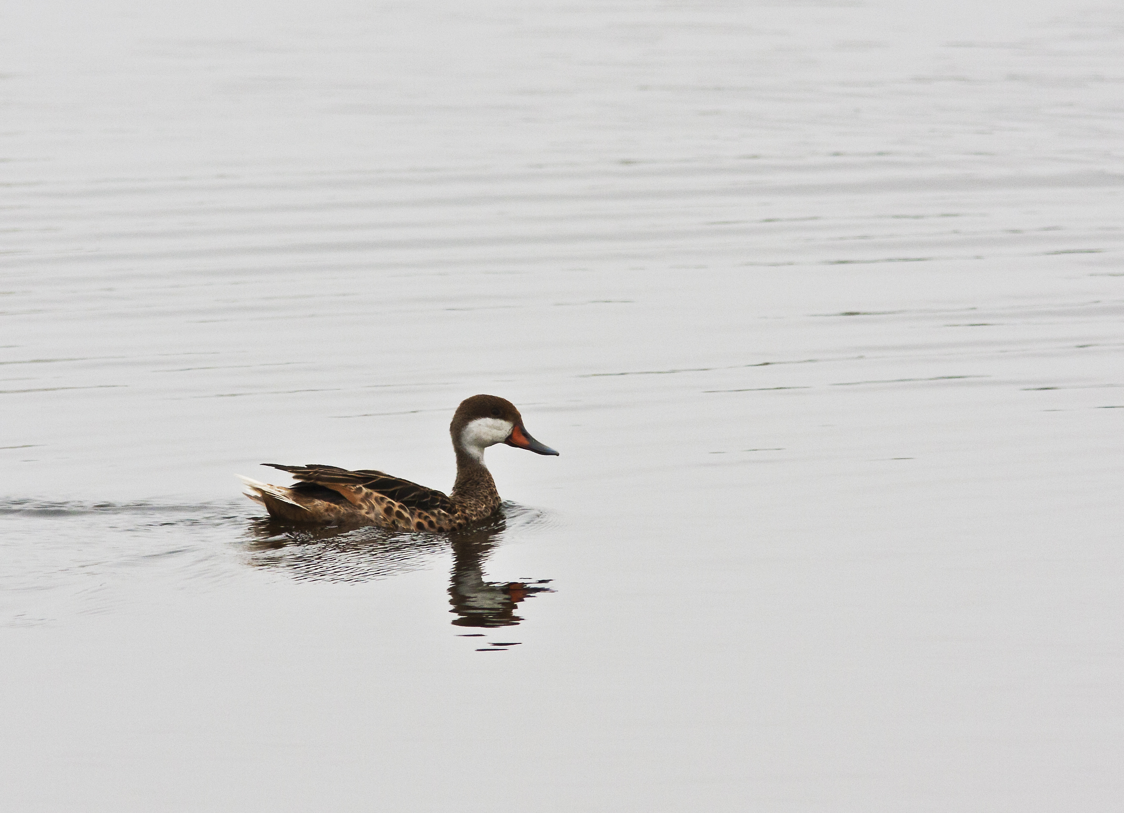 Scientific Name: White-cheeked Pintail - Photo: Melissa Paredes Berrocal