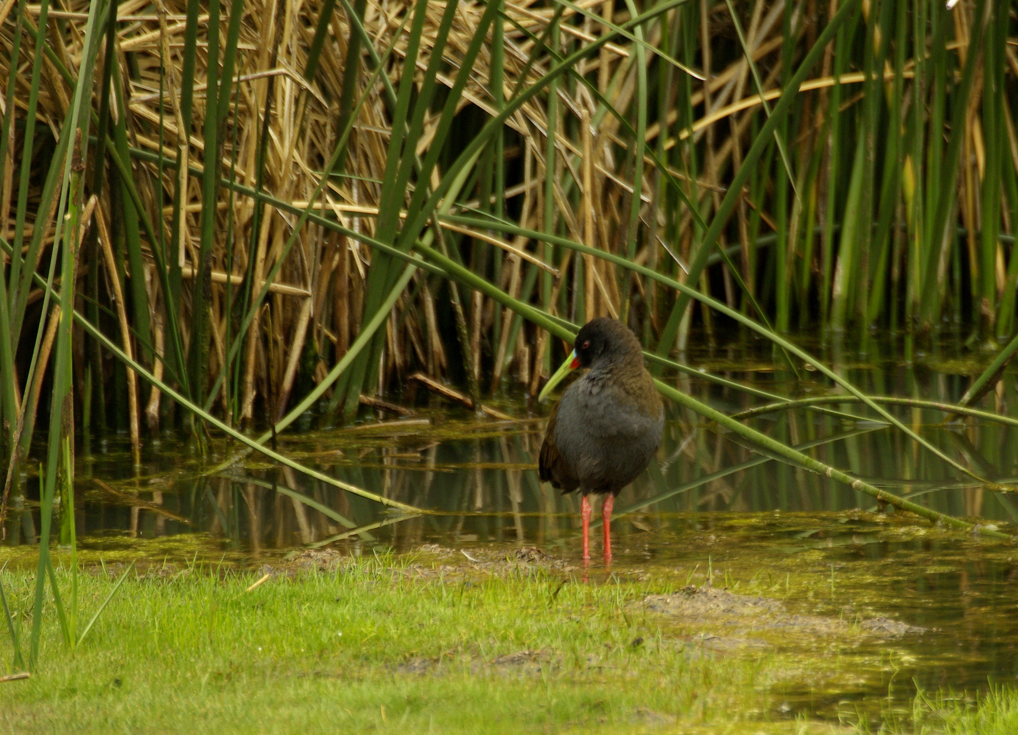 Scientific Name: Plumbeous Rail - Photo: Didier Perrocheau