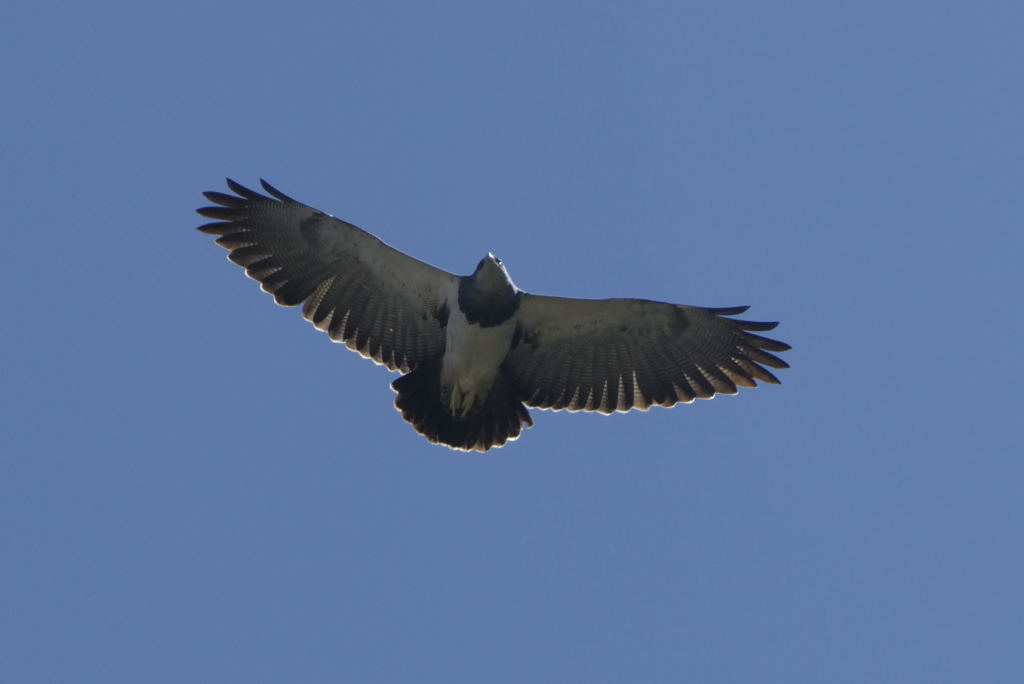 Scientific Name: Black-chested Buzzard-Eagle - Photo: Juan Jose Chalco