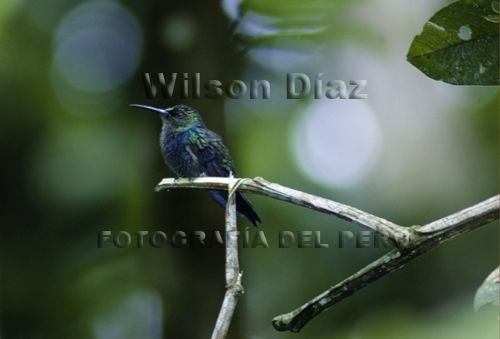 Scientific Name: Fork-tailed Woodnymph - Photo: Wilson Díaz