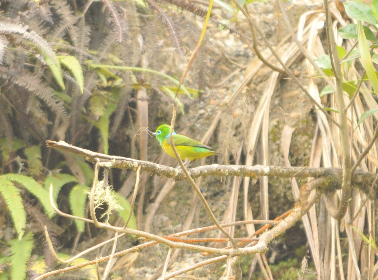 Scientific Name: Blue-naped Chlorophonia - Photo: Juan Jose Chalco