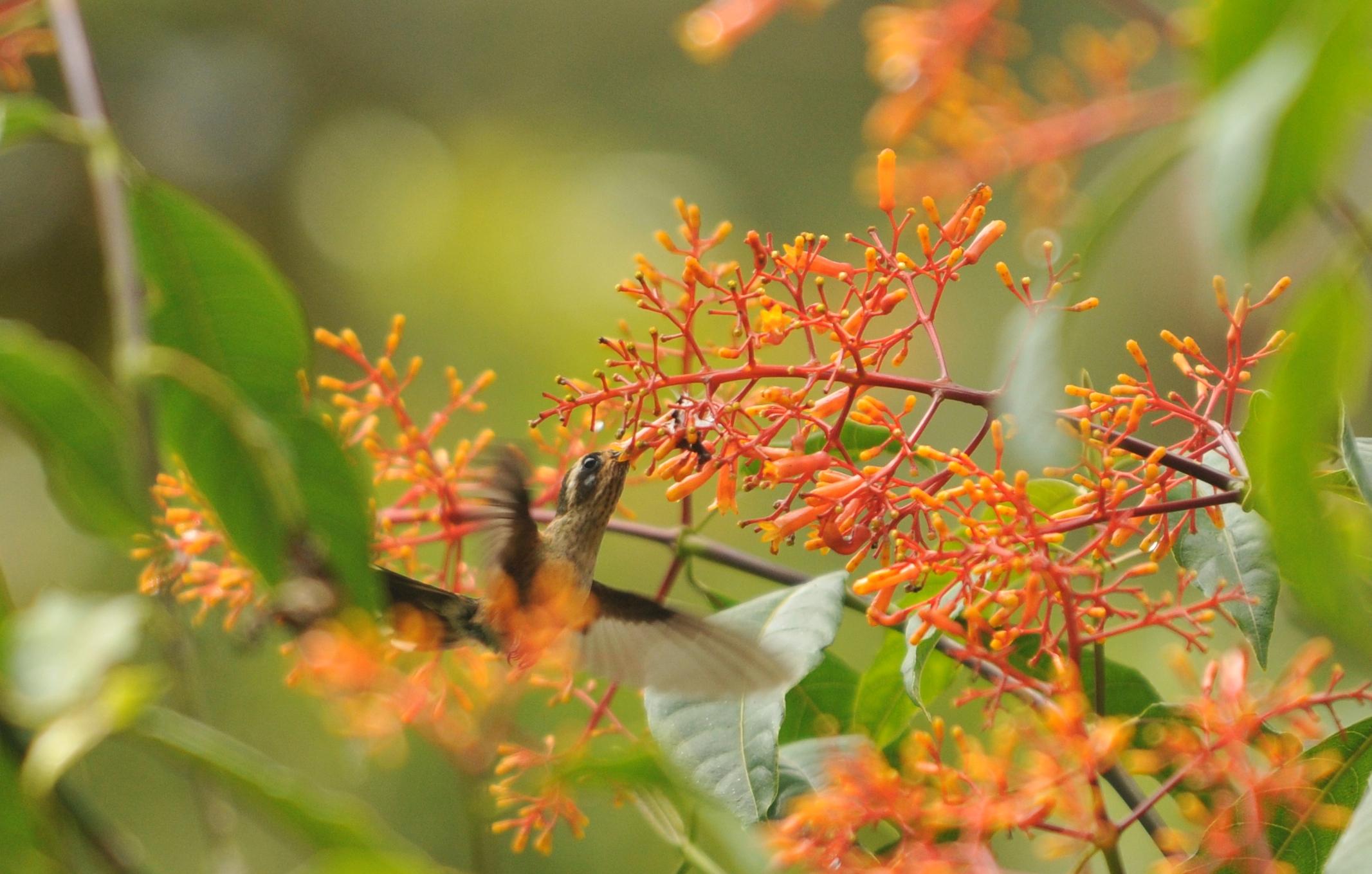 Scientific Name: Speckled Hummingbird - Photo: Juan Jose Chalco