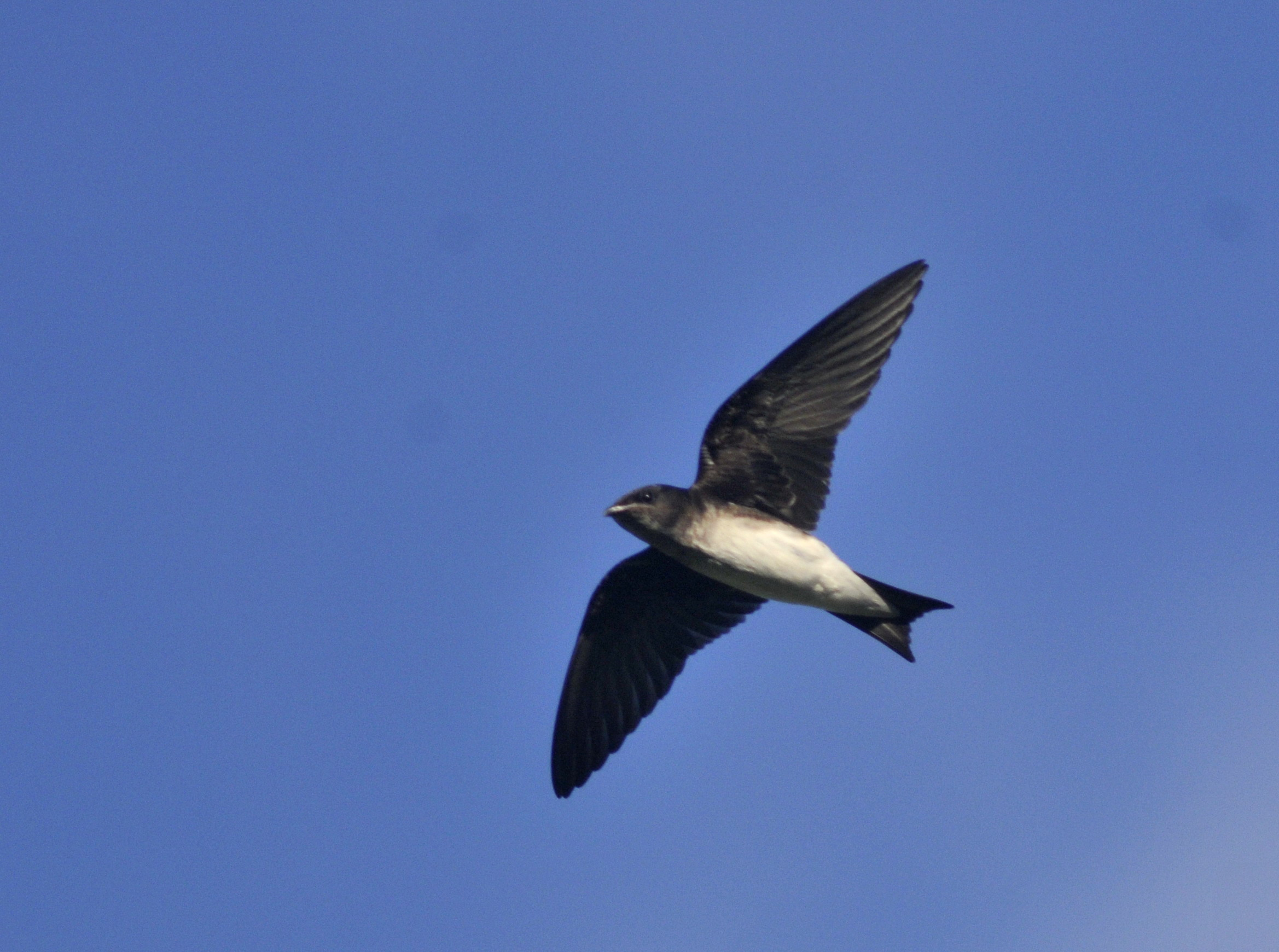 Scientific Name: Gray-breasted Martin - Photo: Juan Jose Chalco