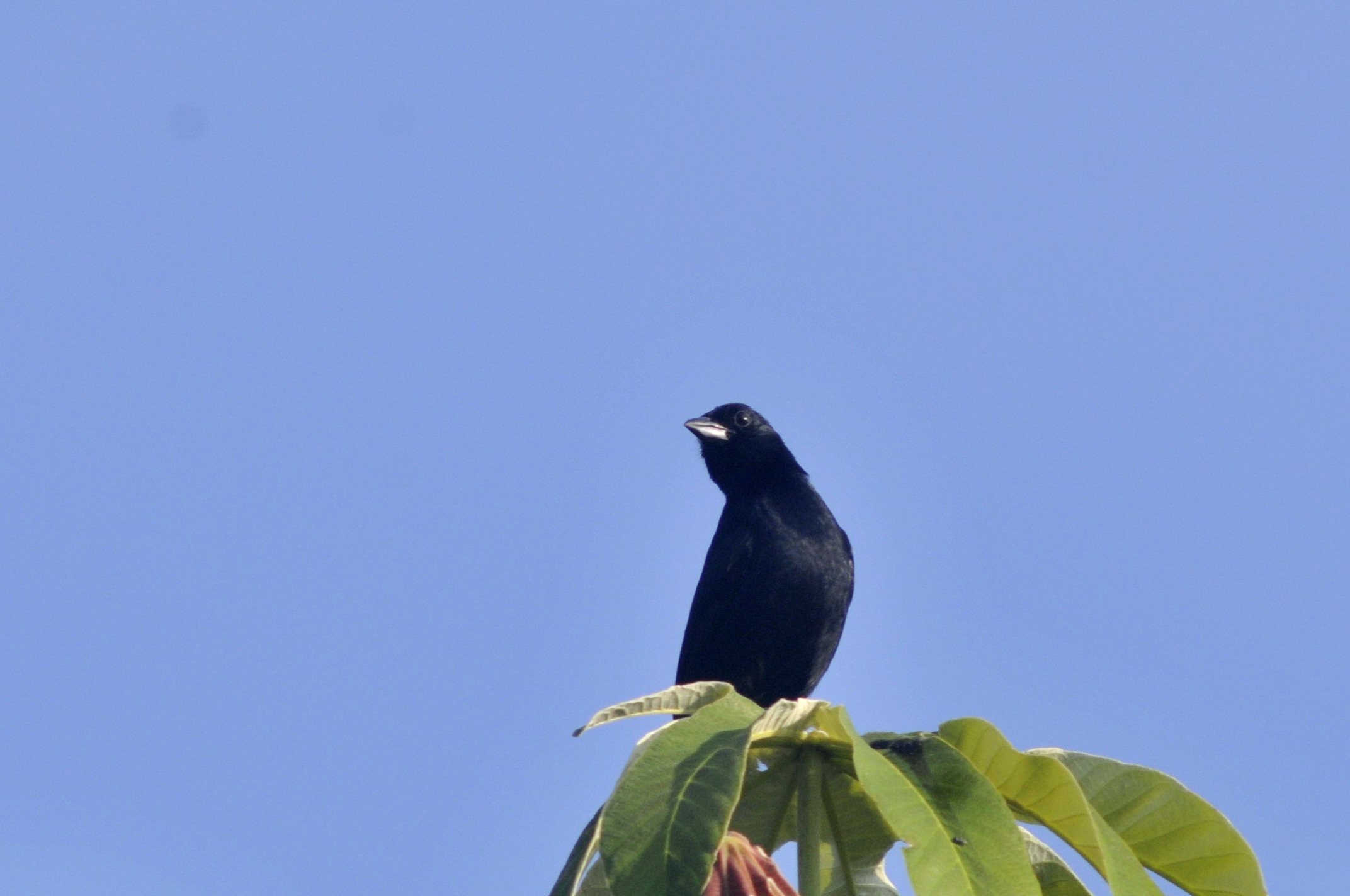 Scientific Name: White-lined Tanager - Photo: Juan Jose Chalco