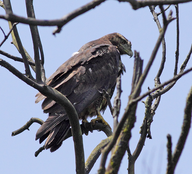 Scientific Name: Black-chested Buzzard-Eagle - Photo: Peter de Haas