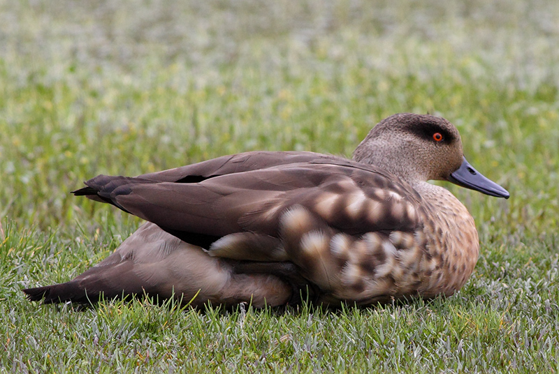 Scientific Name: Crested Duck - Photo: Peter de Haas