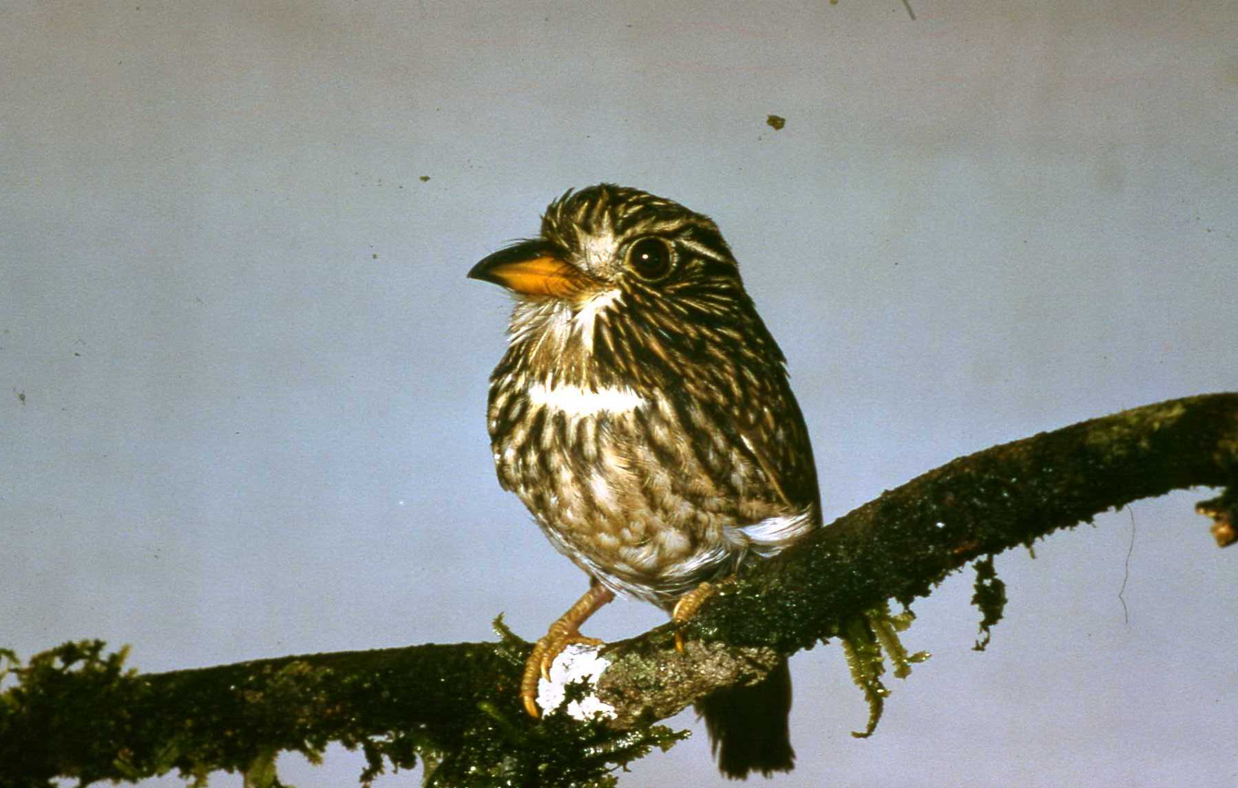 Scientific Name: White-chested Puffbird