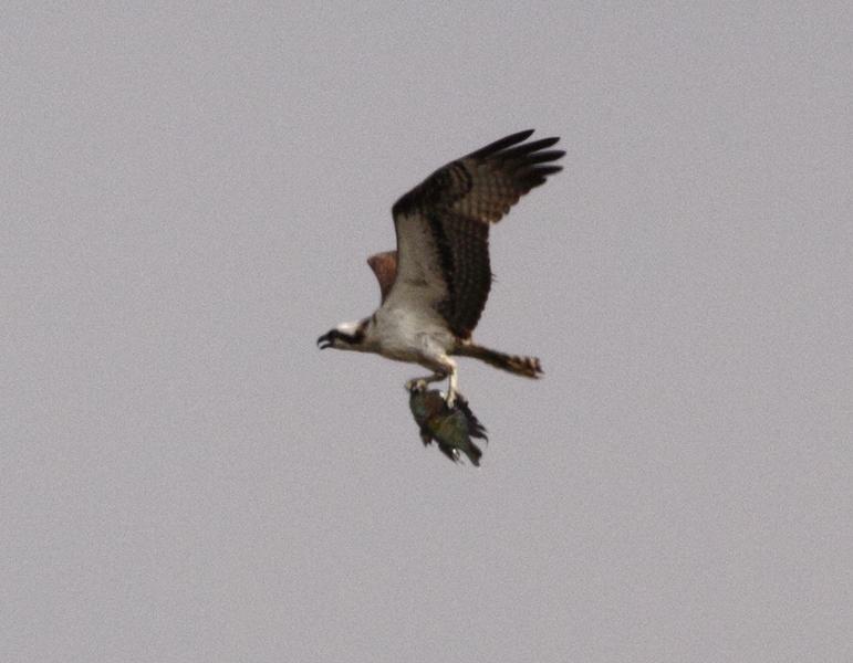 Scientific Name: Osprey - Photo: Peter de Haas