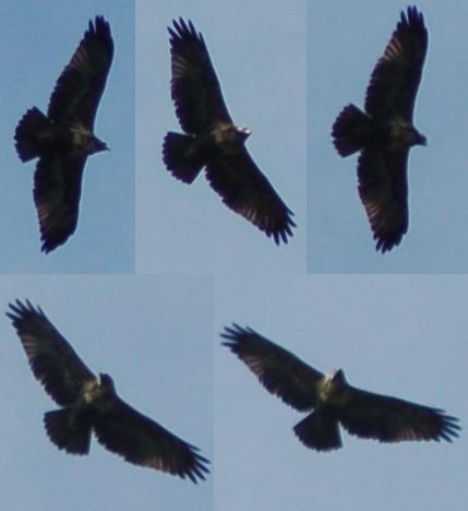 Scientific Name: Black-chested Buzzard-Eagle - Photo: Diego Garcia Olaechea