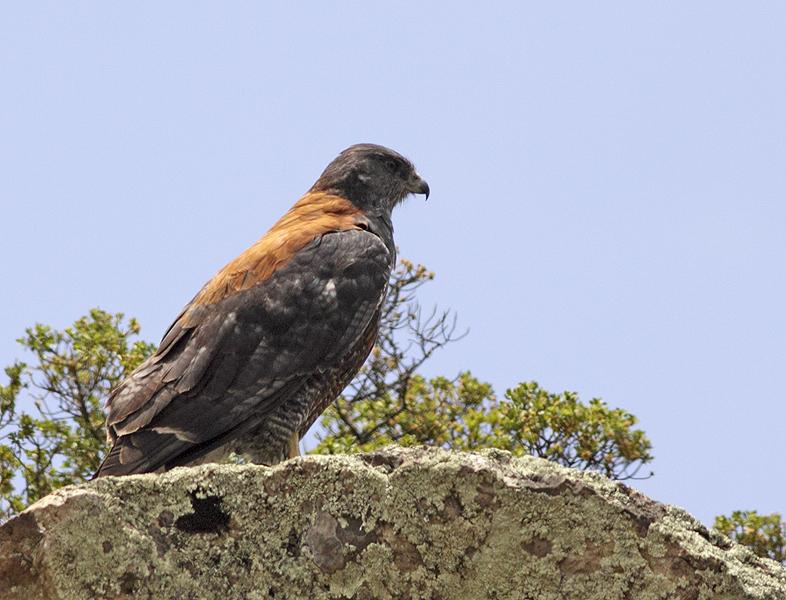 Scientific Name: Red-backed Hawk - Photo: Peter de Haas
